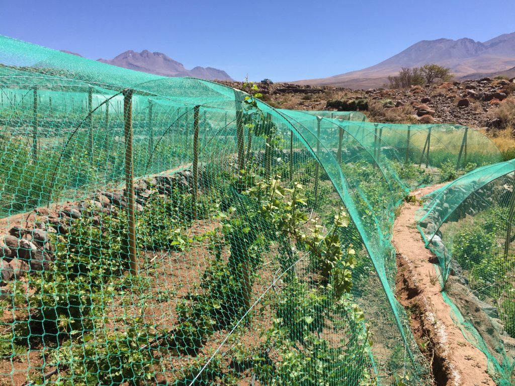 Viñedos del Desierto de Atacama, Proyecto Ayllu.