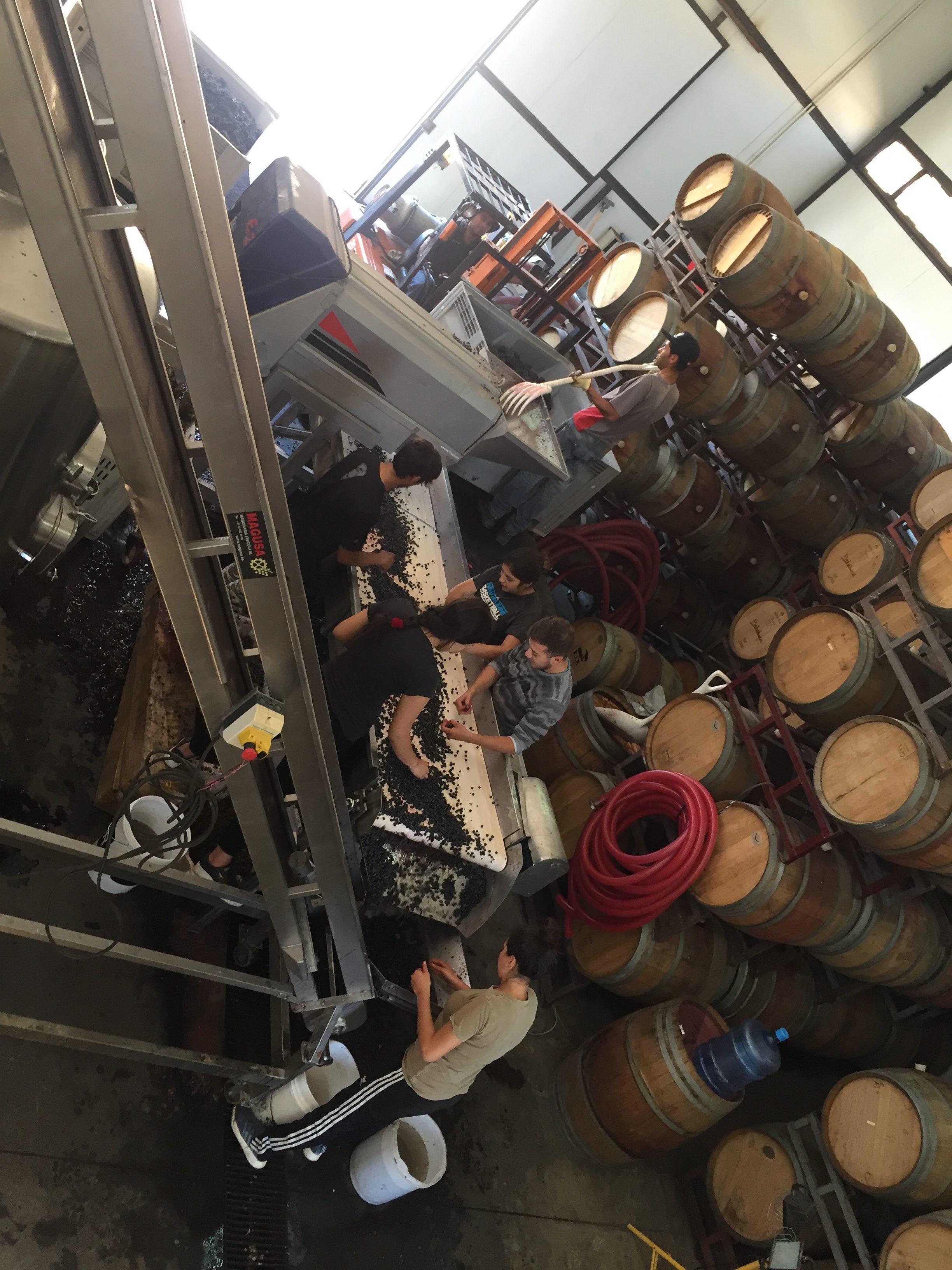 Selección de uvas, bodega boutique. 28 de marzo, medio día. Lafken Wines, Los Morros, Buin, Valle del Maipo.